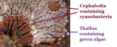 cephalodia