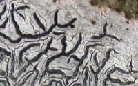 lirellate lichen