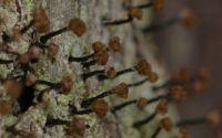 pin lichen