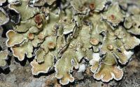 squamulose lichen
